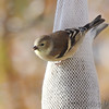 American Goldfinch <br /> City of Bridgeton <br /> St. Louis County, Missouri <br /> 2010-11-14