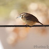 Carolina Wren  <br /> Bridgeton, Mo. <br /> 11-14-2010