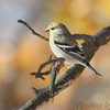 American Goldfinch <br /> Bridgeton, Mo. <br /> 11-14-2010