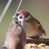 Eurasian Tree Sparrow <br /> City of Bridgeton <br /> St. Louis County, Missouri <br /> 2010-11-27