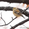 American Goldfinch <br /> City of Bridgeton <br /> St. Louis County, Missouri <br /> 2010-11-25