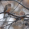 Mourning Doves   <br /> City of Bridgeton <br /> St. Louis County, Missouri <br /> 2010-11-14