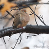 Mourning Dove   <br /> City of Bridgeton <br /> St. Louis County, Missouri <br /> 2010-11-14