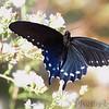 Pipevine Swallowtail <br /> Cuba, Mo.