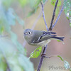 Ruby-crowned Kinglet <br /> Cuba, Mo.