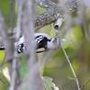 Downy Woodpecker <br /> Cuba, Mo.