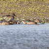 Green-winged Teal <br /> Entrance pool <br /> Confluence State Park