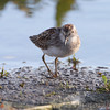 Least Sandpiper <br /> Entrance pool <br /> Confluence State Park