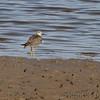 Lesser Yellowlegs <br /> Ellis Bay <br /> Riverlands Migratory Bird Sanctuary <br /> 10/09/10
