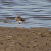 Lesser Yellowlegs <br /> Ellis Bay <br /> Riverlands Migratory Bird Sanctuary <br /> 10/09/10