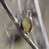 Palm Warbler <br /> Confluence and Red School Roads <br /> Riverlands Migratory Bird Sanctuary <br /> 10/10/10