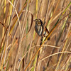 Swamp Sparrow <br /> Confluence and Red School Roads <br /> Riverlands Migratory Bird Sanctuary <br /> 10/09/10