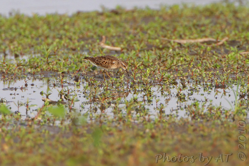 Least Sandpiper <br /> Pipeline pool <br /> Confluence State Park