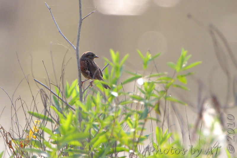 Swamp Sparrow <br /> Confluence State Park
