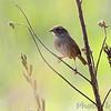 Swamp Sparrow <br /> Confluence State Park