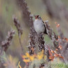 White-crowned Sparrow <br /> Confluence State Park