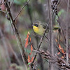 Common Yellowthroat  <br /> Confluence State Park