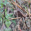 House Wren  <br /> Confluence State Park