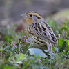 LeConte's Sparrow <br /> Tower Grove Park