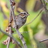 Swamp Sparrow <br /> Creve Coeur Marsh