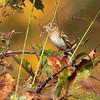 Field Sparrow <br /> Creve Coeur Marsh