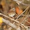 White-throated Sparrow <br /> Creve Coeur Marsh