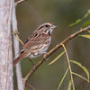 Song Sparrow <br /> Creve Coeur Marsh