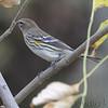 Yellow-rumped Warbler <br /> Creve Coeur Marsh