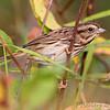 Song Sparrow <br /> Creve Coeur Marsh