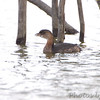 Pied-billed Grebe <br /> Pipeline pool east <br /> Confluence State Park