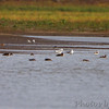 Three American Avocet   <br /> Pipeline pool east <br /> Confluence State Park