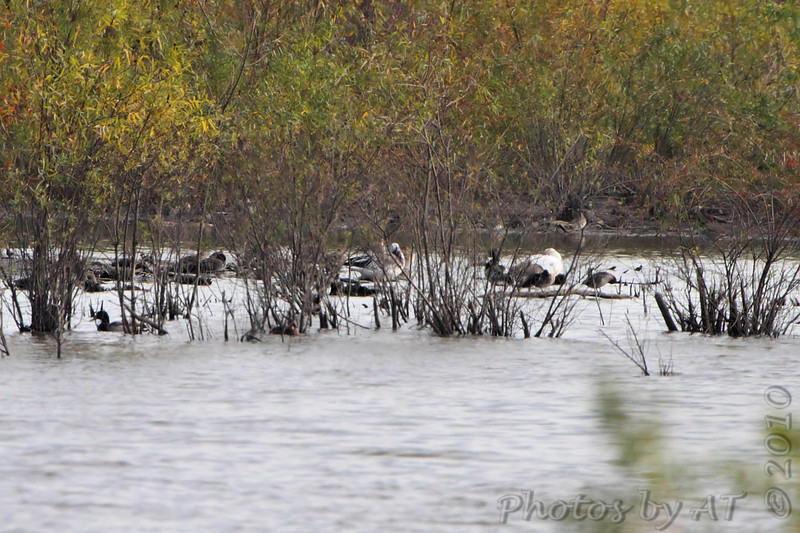 Three Snow Geese? <br /> Heron Pond <br /> Riverlands Migratory Bird Sanctuary