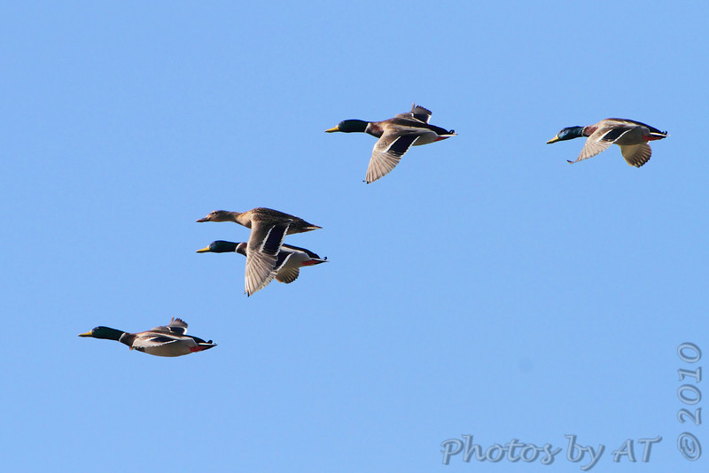 Mallards  <br /> over Heron Pond <br /> Riverlands Migratory Bird Sanctuary