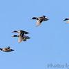 Mallards  <br /> over Heron Pond <br /> Riverlands Migratory Bird Sanctuary