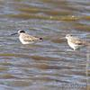 Greater Yellowlegs <br /> Heron Pond <br /> Riverlands Migratory Bird Sanctuary