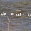 American Avocets  <br /> Heron Pond <br /> Riverlands Migratory Bird Sanctuary
