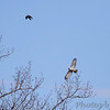 Red-tailed Hawk and ? Northern Harrier ?<br /> St. Stanislaus Conservation Area
