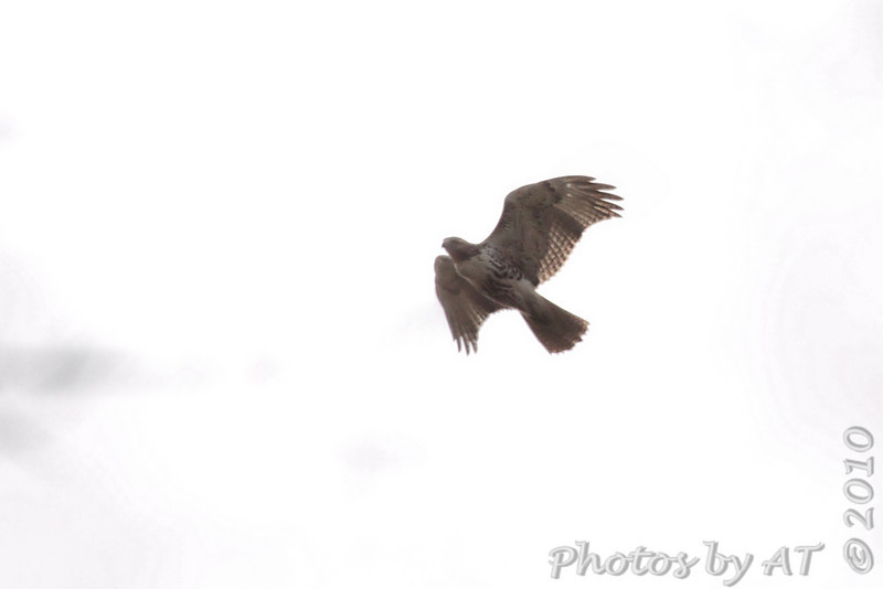 Red-tailed Hawk <br /> St. Stanislaus Conservation Area