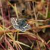 Common Checkered-Skipper <br /> St. Stanislaus Conservation Area