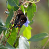 Pipevine Swallowtail <br /> St. Stanislaus Conservation Area