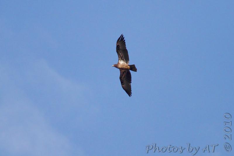 Bald Eagle <br /> St. Stanislaus Conservation Area