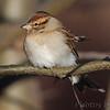 Immature White-crowned Sparrow  <br /> Heron Pond rear parking lot <br /> Riverlands Migratory Bird Sanctuary