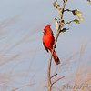 Northern Cardinal   <br /> Heron Pond rear parking lot <br /> Riverlands Migratory Bird Sanctuary