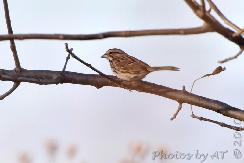 Song Sparrow  <br /> Heron Pond rear parking lot <br /> Riverlands Migratory Bird Sanctuary