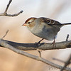 White-crowned Sparrow  <br /> Heron Pond rear parking lot <br /> Riverlands Migratory Bird Sanctuary