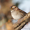 White-throated Sparrow  <br /> Heron Pond rear parking lot <br /> Riverlands Migratory Bird Sanctuary