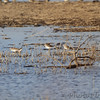 Greater and Lesser Yellowlegs <br /> Heron Pond rear parking lot <br /> Riverlands Migratory Bird Sanctuary