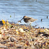 Wilson's Snipe <br /> Pipeline east pool <br /> Confluence State Park