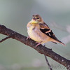 American Goldfinch <br /> City of Bridgeton <br /> St. Louis County, Missouri <br /> 2010-10-19