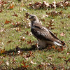 Red-tailed Hawk <br /> with squirrel <br /> City of Bridgeton <br /> St. Louis County, Missouri <br /> 2010-10-29